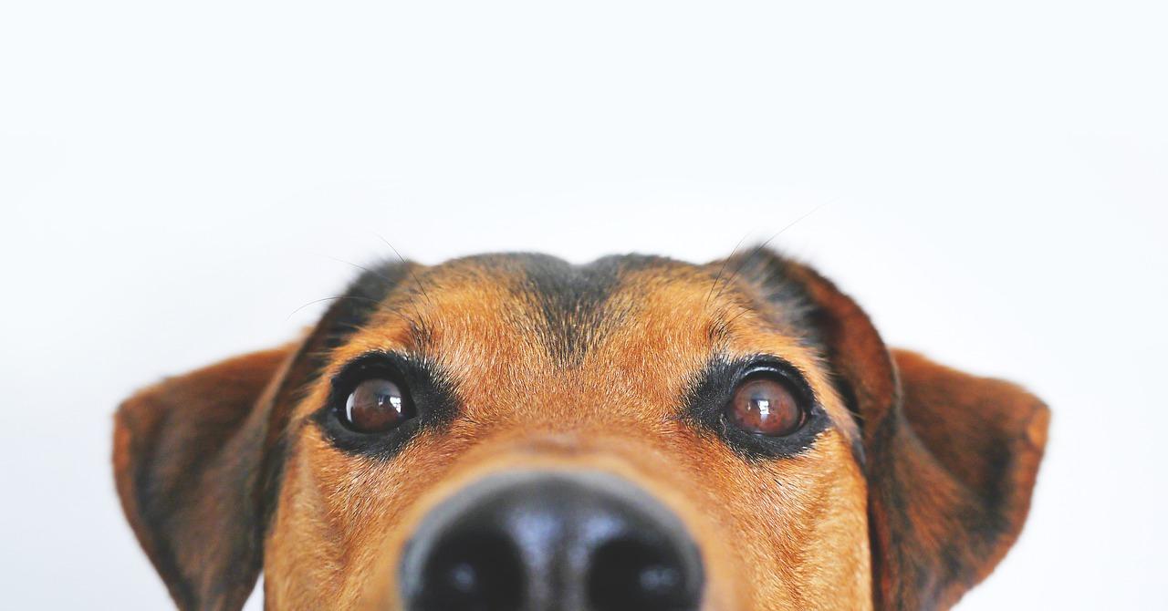 glande-anale-chien